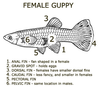 Breeding reproduction and care for fry awesome guppies for How long is a guppy fish pregnant