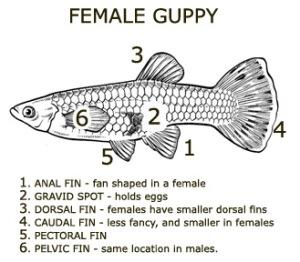 Diagram of female guppy.