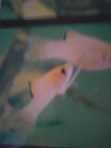 This is a picture of guppies mating